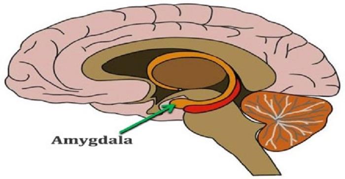 Amygdala and Autism